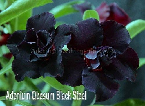 Adenium Obesum (Desert Rose) Double Black Steel