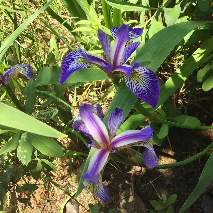 Iris versicolore, emblème du Québec