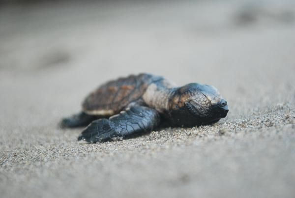 El Salvador - Hawksbill hatchling resting before heading to the water in Jiquilisco Bay as part of ICAPO's conservation program.