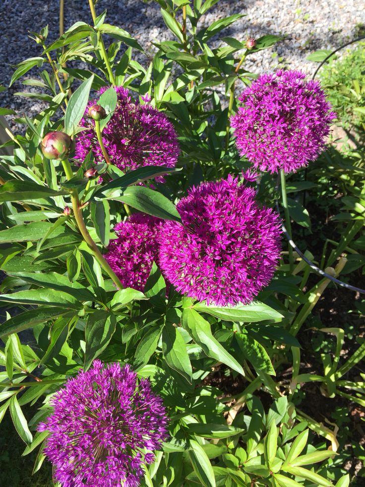 Alliumbollar