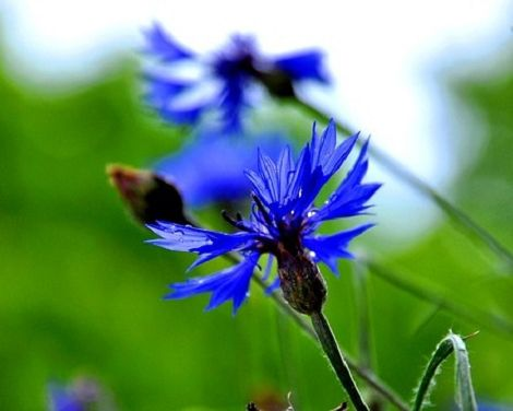 Encyclopedia of Herbs part 2: Cornflower Bluebottle #Herbst #herbal