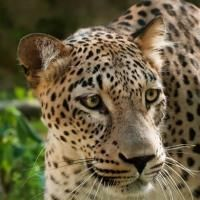The Caucasian Leopard is endangered throughout its range. Since 2010, World Land Trust (WLT) has been supporting conservation projects in Armenia's Caucasus region to protect the Caucasian leopard. Find out how WLT is helping here... www.worldlandtrus...