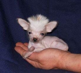 chinese crested puppy! omg! OMG indeed you would have to keep it in your pocket all day you just might step on it