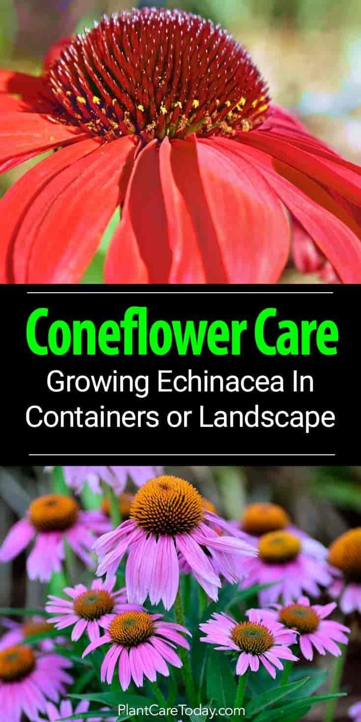 Coneflower Care Growing Echinacea As A Landscape Or Container Plant Container Plants Echinacea Flower Landscape