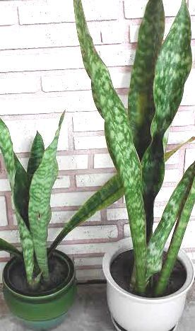 sansevieria a collection of gardening ideas to try black gold plants and snake plant. Black Bedroom Furniture Sets. Home Design Ideas