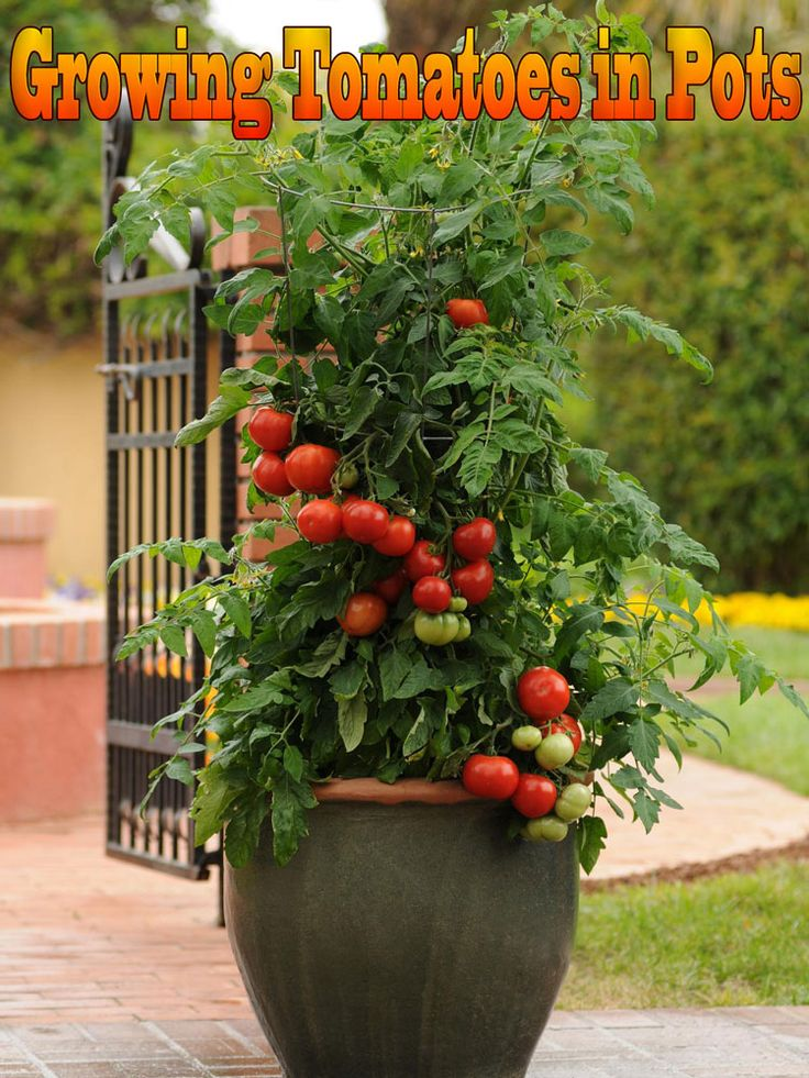 Growing tomatoes in pots is one way to enjoy fresh tomatoes, even if you've never gardened before! Growing tomatoes in containers is useful, too, when you have limited space... #garden #gardening #tomatoes