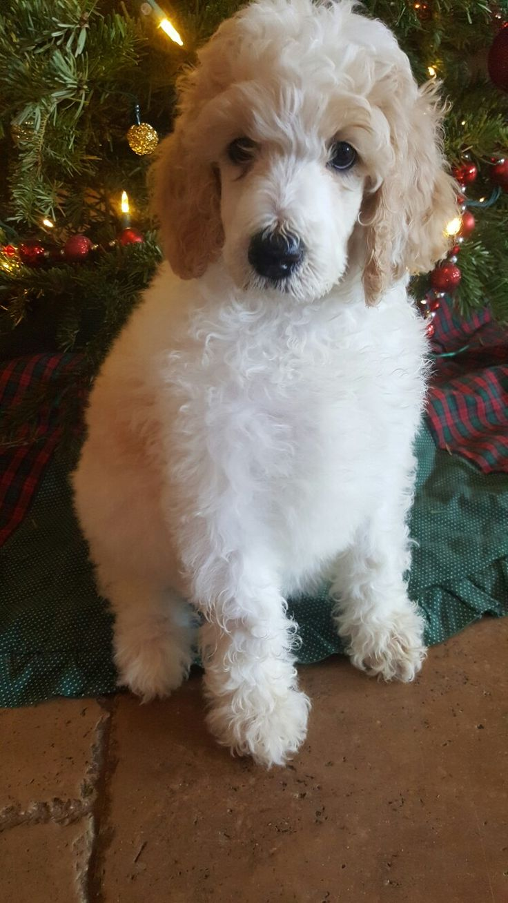 Standard Poodle puppy. Cream Parti (With images) Poodle