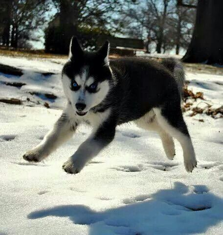 Siberian Husky puppy playing in the snow.