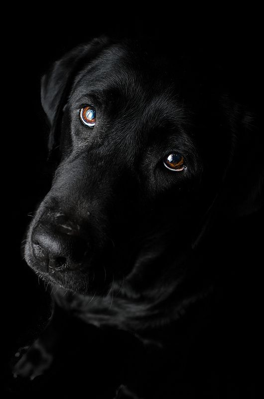 Labrador Retriever negro ... tan hermoso/a como Frida!
