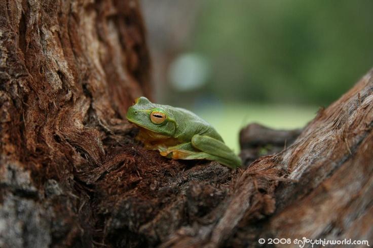 Green tree frog, Imbil, Qld, Australia.