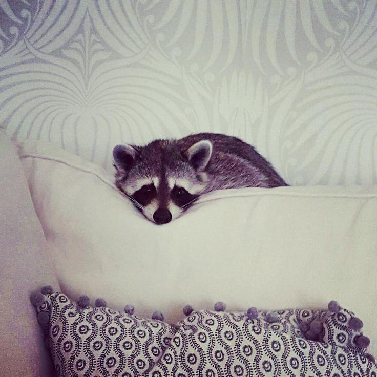 An adopted little raccoon that thinks he's a dog. Un raton laveur orphelin adopté se considère comme un chien 2Tout2Rien