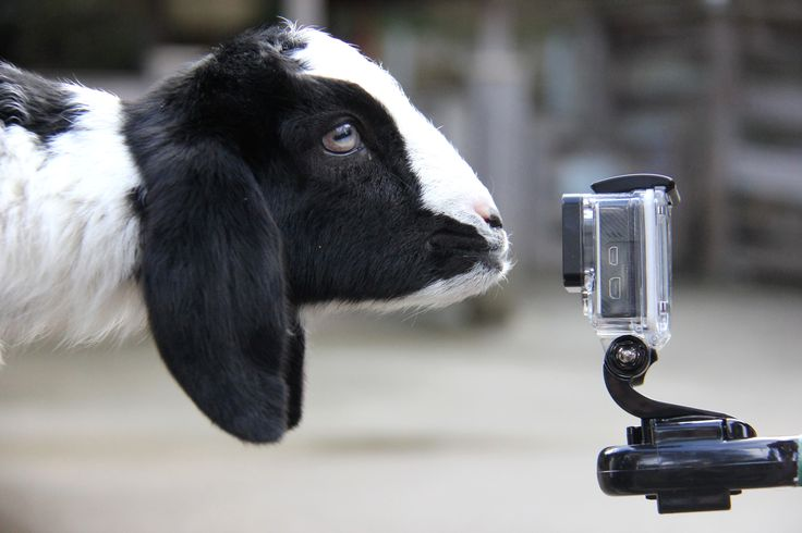'Pippi' couldn't resist kidding around with our 'goat-pro' camera.