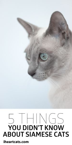 5 Things You Didn't Know About Siamese Cats