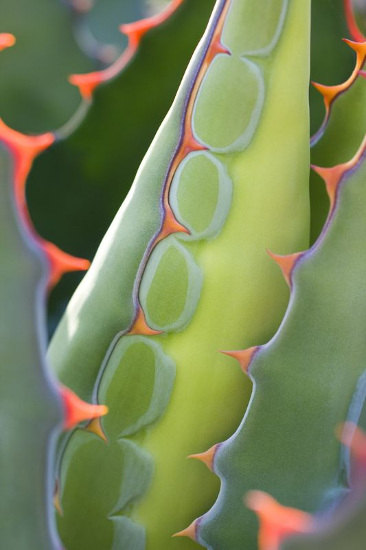 http://www.igpoty.com/competition02/winners_PlantPortraits_Fin8.asp, accessed 4/6/13, International Garden Photographer of the Year finalist, Geoff du Feu, Plant Portraits category. Taken at 'Old Vicarage Gardens', East Ruston, Norfolk, England.  Plant name: Agave utahensis 'I had been observing this fine specimen, and was hoping to capture a graphic image. The wonderful spines had to figure prominently.'