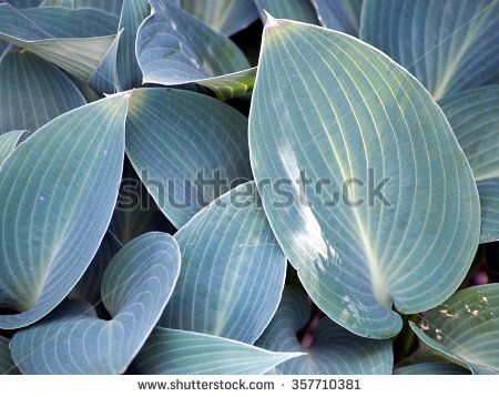 Hosta plant with decorative blue leaves. - stock photo