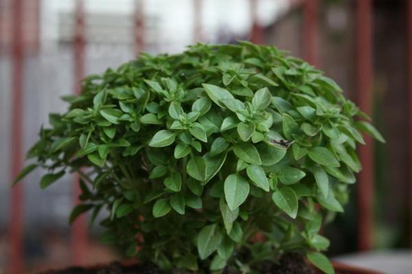 Como cultivar manjericão em casa. O manjericão é uma planta aromática muito comum para plantar em casa e que se pode utilizar também na cozinha, por exemplo para fazer um molho pesto. E o que melhor do que utilizar manjericão fresco e...
