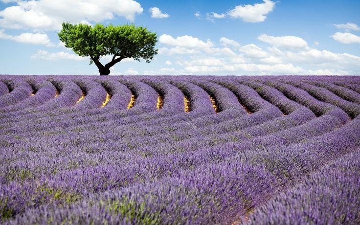 lavender field Wallpaper HD Wallpaper