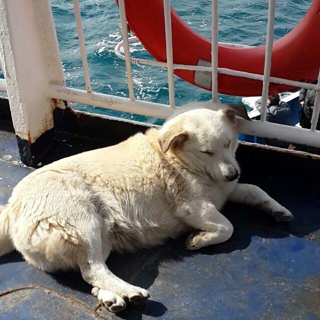 """""""Keyfini yediğim içine insan kaçmış günde 1 kez mutlaka karşiya geçip adaya dönen pakize hanım çok özlücem seni ☺ @turkinstagram #dog #köpekaşkı…"""""""