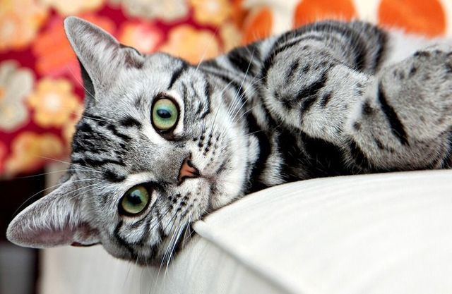 มะหมาก ต องม มะเหม ยว แนะนำ น องเหม ยว สายพ นธ ยอดน ยมในไทย เอาใจสาวทาส แมว แมวน อย แมวเปอร เซ ย ล กแมว