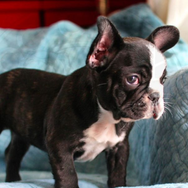 This little lady is available now.  Instant gratification or hold out for a cream Frenchie?