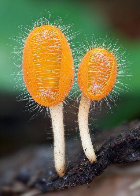 Cookiena tricholoma by MycoImage, via Flickr, taken in August 2010 in Loei, TH