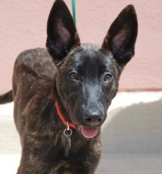 Cairo: Dutch Shepherd, Dog; Annapolis, MD  Want! Maybe not this one specifically but Dutch shepherds in general :)