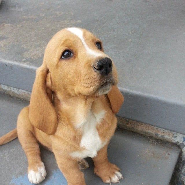Basset/Lab puppy or Basador for short.