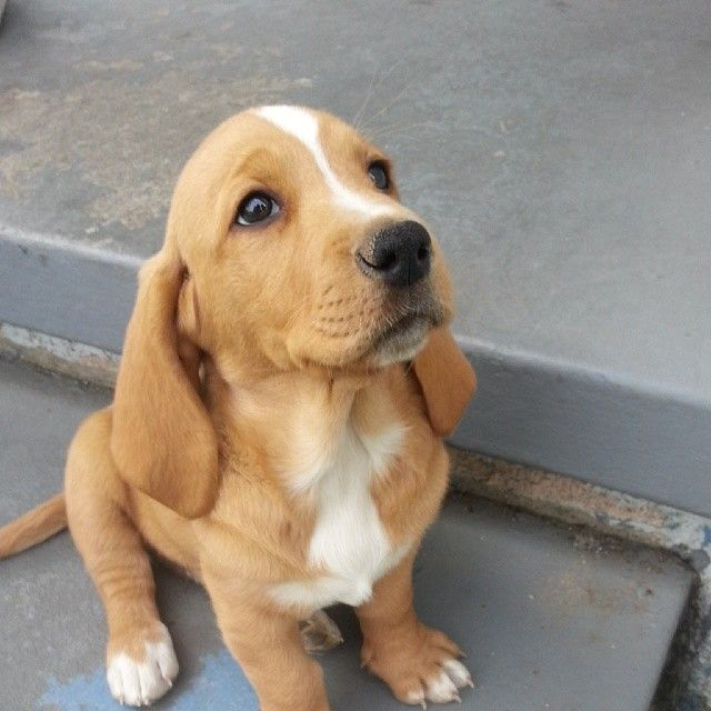 My Basset/Lab puppy or Basador for short. - Imgur