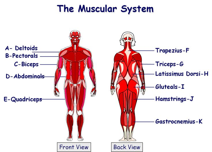 112 best gcse pe images on pinterest gcse pe core and pe ideas muscular system ccuart Image collections