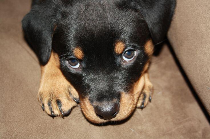 Baby Rottweiler Saxon