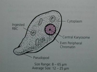 Entamoeba histolytica ( or E. dispar) Trophozoite characteristics