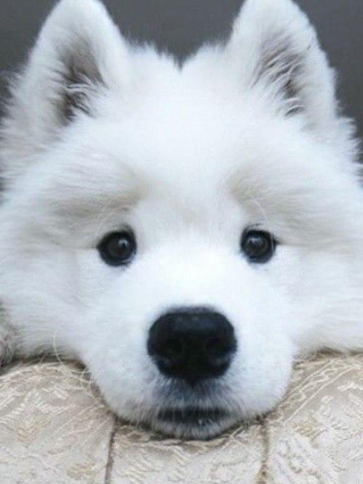 Wonderful Wolfbear Chubby Adorable Dog - 3308378e5c7dab1b2dcf8ce73303aeb9--samoyed-sun  HD_748740  .jpg