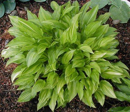 Hosta 'Kisuji' (Japan) Geel blad met vele groene strepen, oude naam is 'Inaho' of tardiva aureo-striata.  Bloemkleur lila. Optimale standplaats zon/schaduw. Hoogte 35 - 45 cm. Groei snel tot gemiddeld.