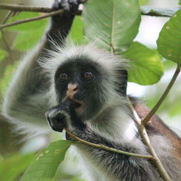 Red colobus monkeys Zanzibar trip 2016