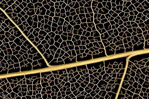 Como descifrar el clima de la Tierra en el pasado con una hoja  Científicos de la Universidad de California han creado fórmulas matemáticas que relacionan la nervadura de las hojas de las plantas con el clima en el que se desarrollaron; y que también dan nuevas respuestas a preguntas como porqué las hojas de climas secos son más pequeñas o porqué las plantas con flores llegaron a dominar la Tierra.