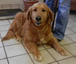 This is Lacy - 10 yrs. She is an owner surrender. Lacy is spayed & current on vaccinations. She is looking for a forever home & is at Sooner Golden Retriever Rescue. OK.