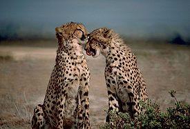 Gepard štíhlí