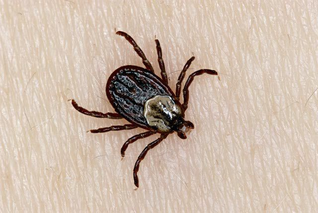 "How to Identify, Treat and Prevent Ehrlichiosis in Dogs: A male ""brown dog tick"" (Rhipicephalus sanguineus)"