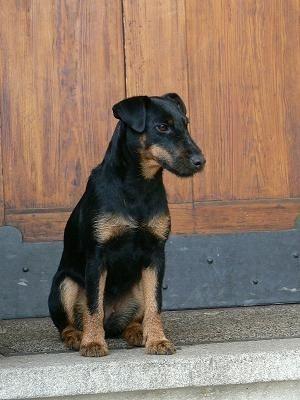 Jagdterrier, Deutscher, German Hunt Terrier, Irish Black ...