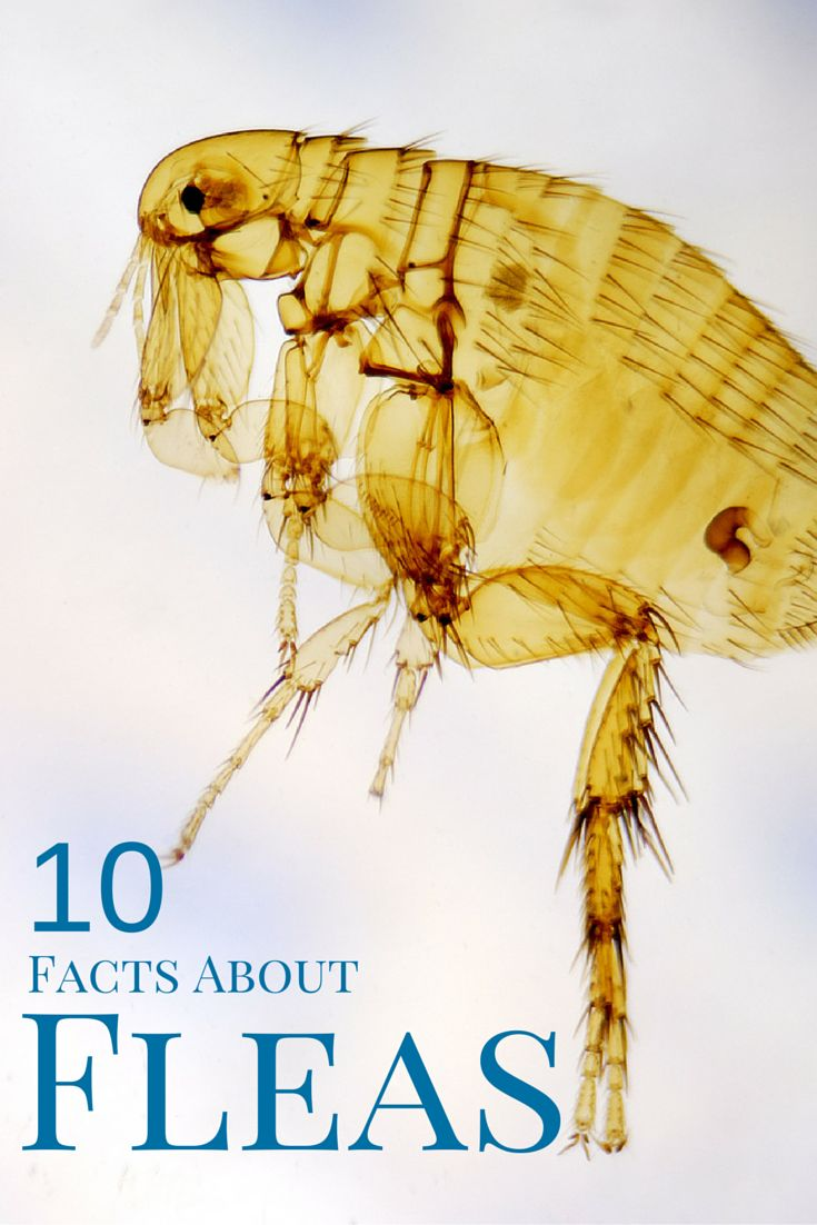 Ever wonder what fleas feed on or how long they can live