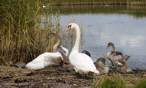 """The Ugly Duckling Syndrome and the Inner Swan Being now members of """"society"""" the ducklings are already seen as competition.  Which is nothing compared to the rite of passage for the """"ugly duckling"""".  Must Read Article about real life! http://www.authorsden.com/visit/viewshortstory.asp?id=58995"""