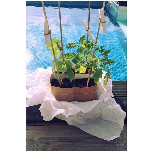 Repost @misscarolinagynning  De fina små plantorna trivs minsann vid poolkanten hemma hos fina Carolina  #plantor #plantbud #plantstories #pool #garden #trädgård #plant #plants #stockholm #odla #odling #omplantering #skörda #äppelgurka #gurkmelon #tomat #tomatplanta #kiwano #exotiskt #inspo #grönsaksplantor