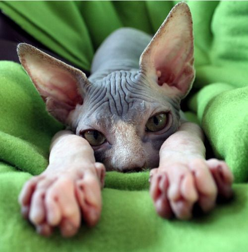 Sphynx Cat. If I could get a cat - it would be one of these cuties