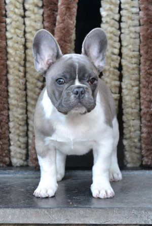bouledogue français, French Bulldog