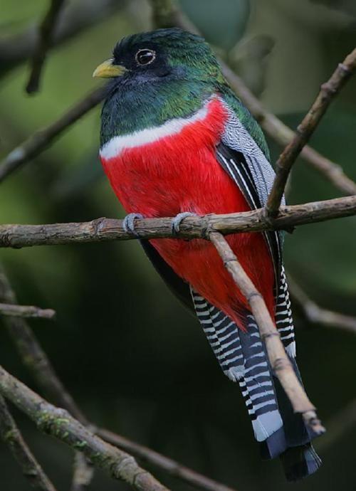 """Collard Trogon """"Trogon collaria"""" by rainbirder :)"""