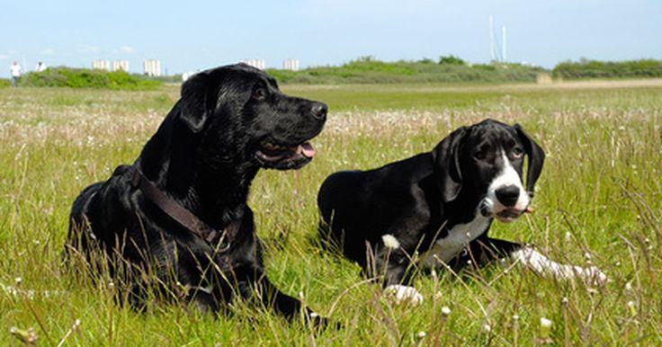 Infecciones de los gánglios linfáticos en perros. Los perros tienen ganglios linfáticos internos y externos. Estos ganglios son pequeñas masas de tejido que se encargan del funcionamiento del sistema inmune. Filtran la sangre y almacenan los glóbulos blancos. Cuando los ganglios linfáticos de los perros se infectan, se vuelven hinchados. Comprender estas infecciones puede ayudarte a controlar la ...