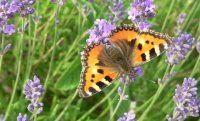Vlinders zijn leuk! Maar hoe lok je deze prachtige diertjes naar je tuin? Vier goede tips, plus een zoekkaart!