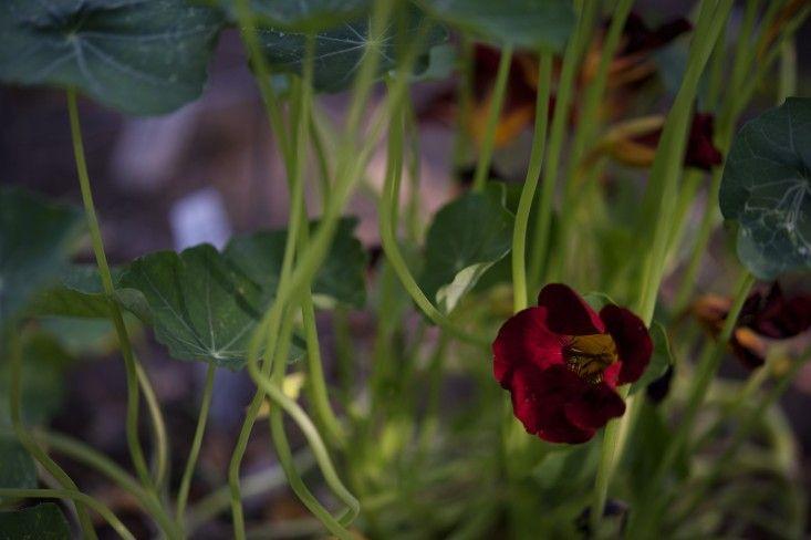 Laura Silverman upstate NY kitchen garden ; Gardenista