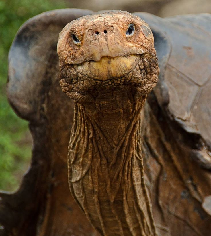 Galapagos Giant Tortoise Bounces Back from Extinction ~ The Ark In Space