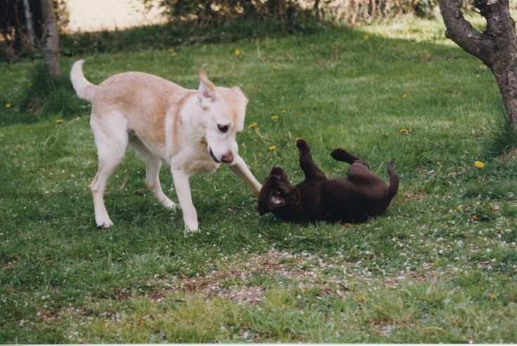 A very gentle and careful Bess playing with the new pup.